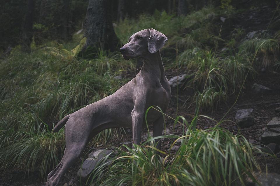 Savez-vous distinguer les aboiements d'un chien ?