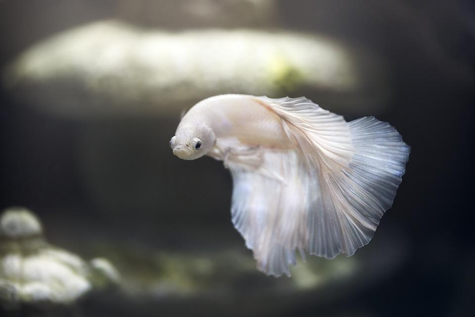 Avoir un poisson comme animal de compagnie