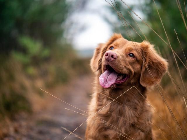 Croquettes pour chien : indispensables dans l'alimentation canine