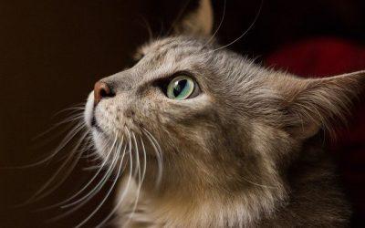 Alimentation sans céréales pour les chats : ce qu'il faut savoir sur le